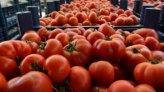 Antalya Hali'nde domates 1 liraya kadar düştü