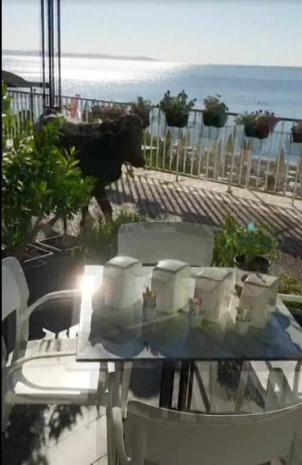 Antalya'da kesime götürülen kurbanlık dana sahile kaçtı