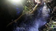 Kastamonu'da bahçe teline takılan yavru ayı öldü