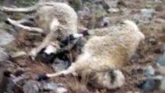 Tunceli'de yıldırımın isabet ettiği 20 koyun telef oldu
