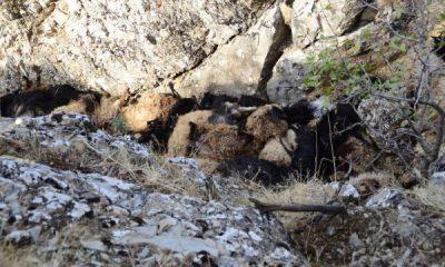 Bitlis'te 315 koyun uçurumdan düşüp telef oldu