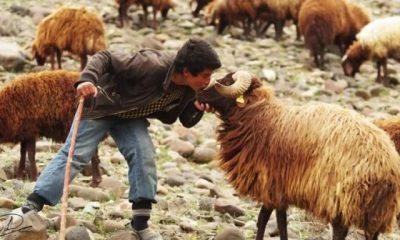 Türkiye, Afganistan'dan çoban ithal edecek