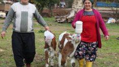 Sevgililer Günü hediyesi buzağılarla çiftlik kurdu