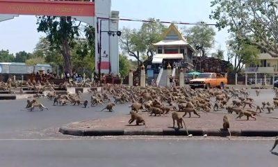 Tayland'da maymunlar sokakları istila etti