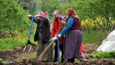 Baharın gelişiyle Karadenizli kadınlar tarlalara çıktı