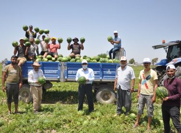Adana Milletvekili Doğru karpuz hasadına katıldı